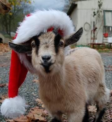 cabra de navidad