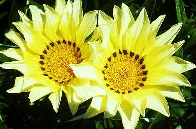 géminis flores
