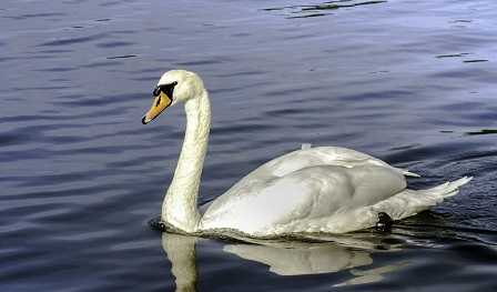 cisne elegante
